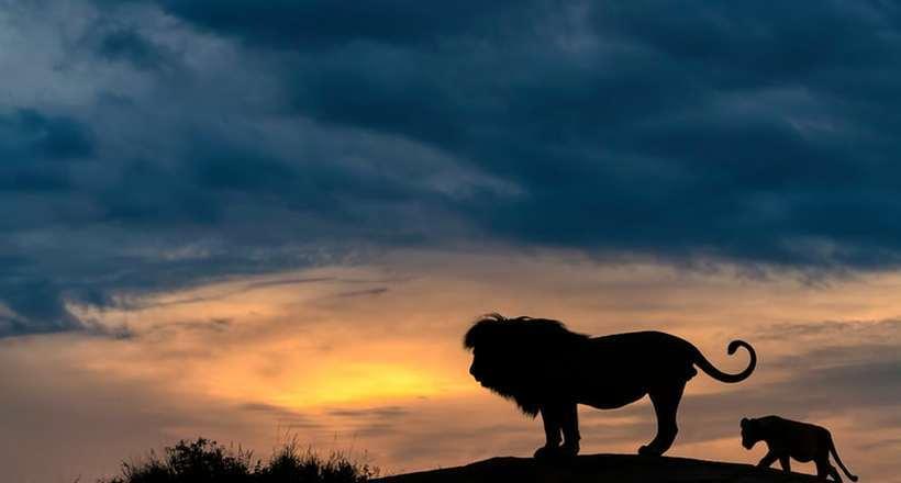 Фото дня: как выглядит «Король Лев» в реальности