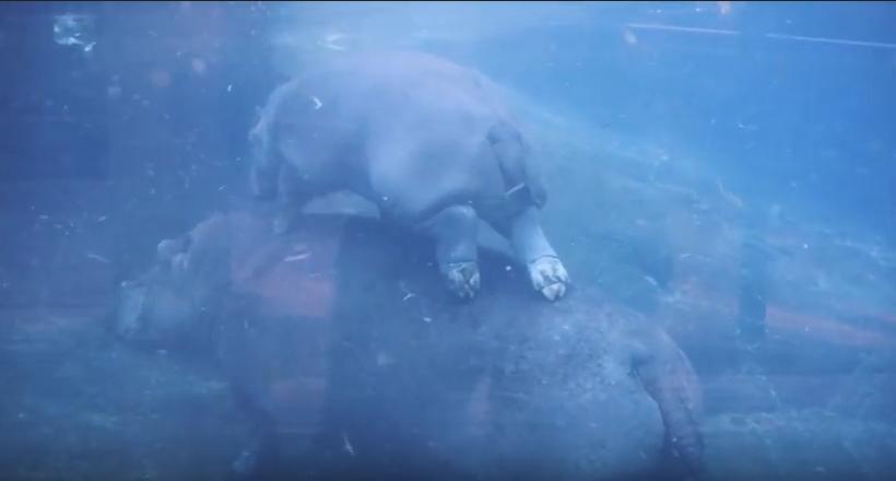 Видео: Малыш бегемотик очень смешно играет с мамой под водой