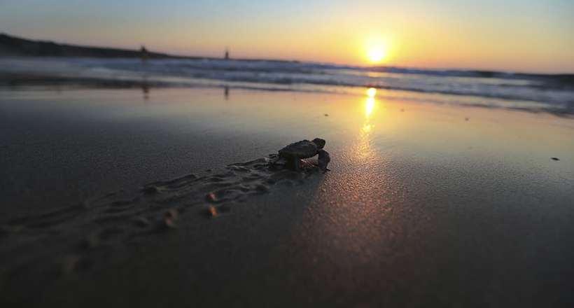 Трогательное видео: как на Кипре помогают маленьким черепашкам добраться до моря