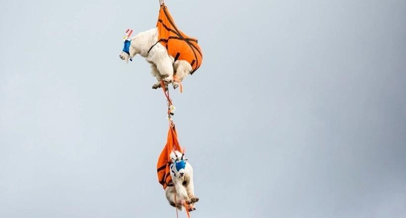 Горных козлов выселили из парка США на… вертолетах
