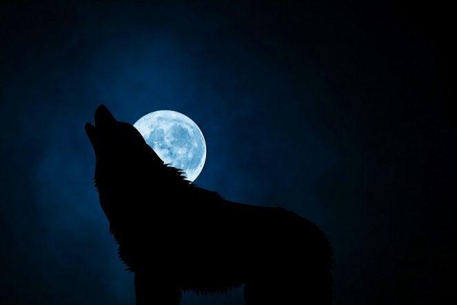 Зачем волки воют на луну на самом деле
