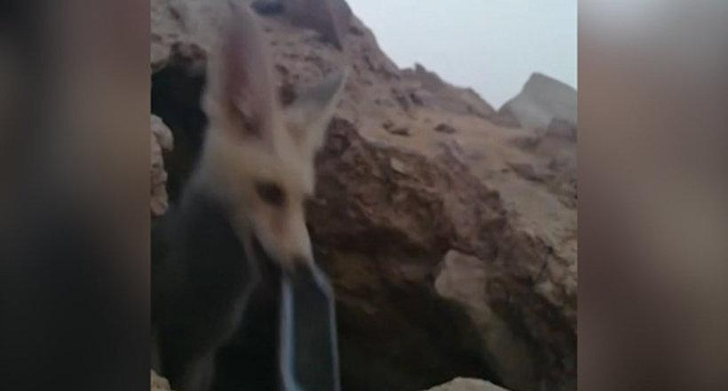 Видео: Лисенок стащил телефон у зазевавшихся туристов