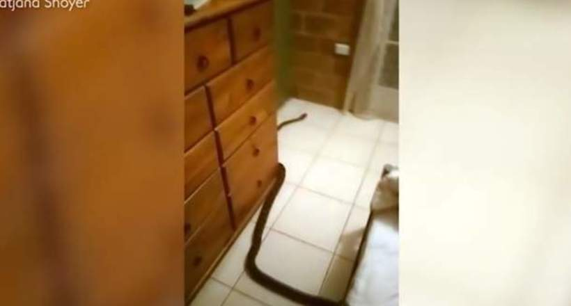 Видео: Питон забрался к спящей женщине в кровать, но ее спокойствие поражает