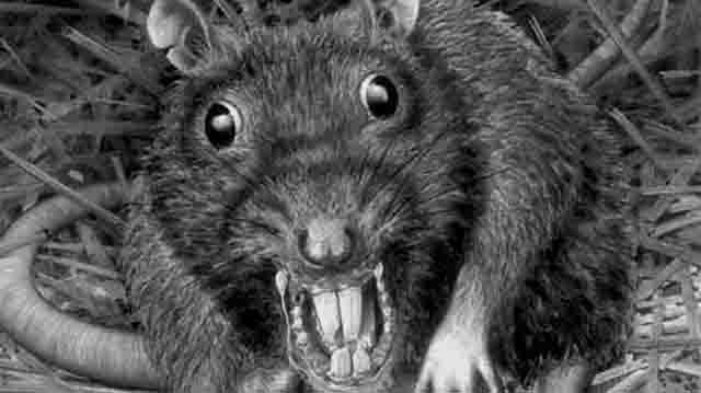 Могут ли крысы сесть человека