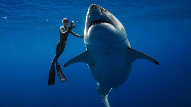 Большая белая акула впервые подпустила дайверов вплотную