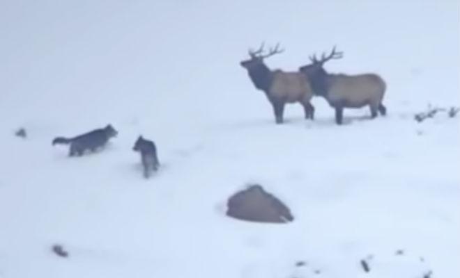 Олени дали отпор стае сибирских волков