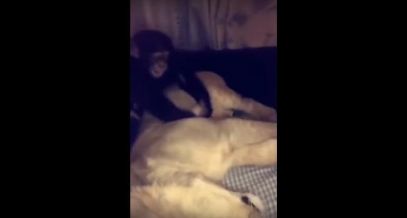 Видео: Обезьяна делает массаж льву, но тот позволил себе лишнего и получил по голове
