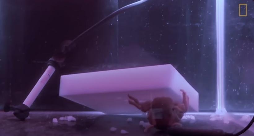 Видео: Как и зачем крабы вырезают себе кусок поролона и надевают его на панцирь