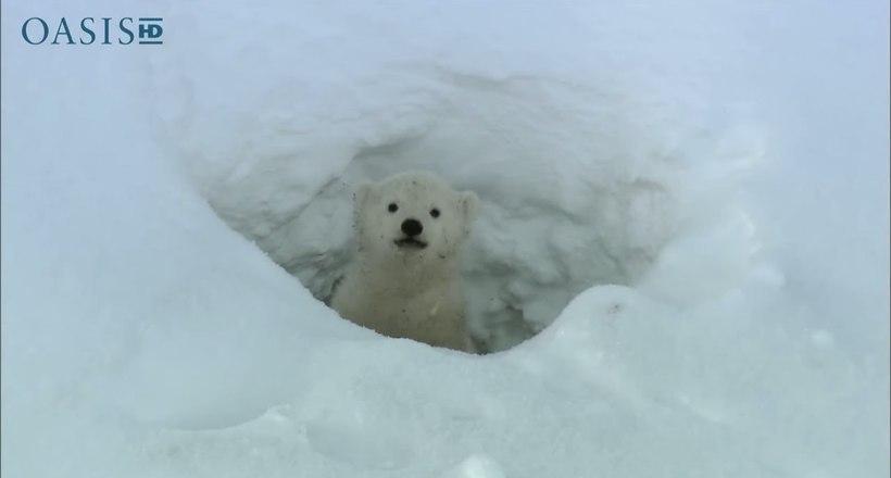 Видео: Белые медвежата впервые вышли на свет из своей берлоги