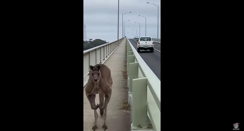 Видео: Двухметровый кенгуру вышел навстречу австралийке на узком пешеходном мосту