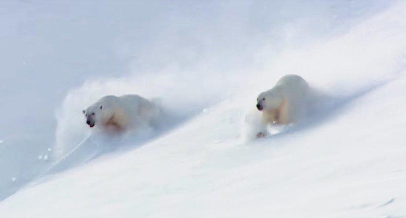 Видео: BBC сняли на видео игры полярных медведей