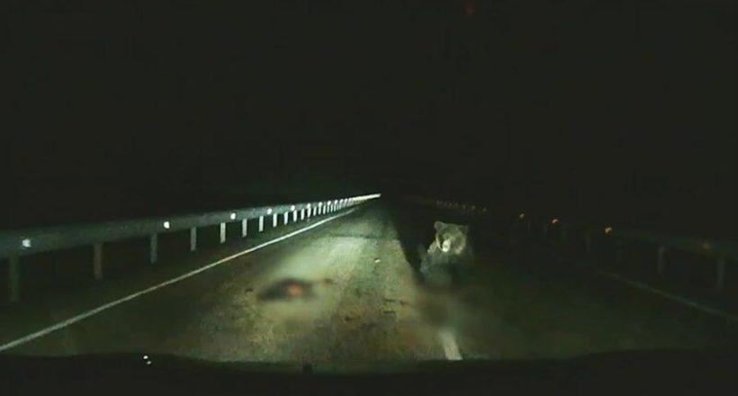 Видео: Медведица защищает своего малыша от машины Uber