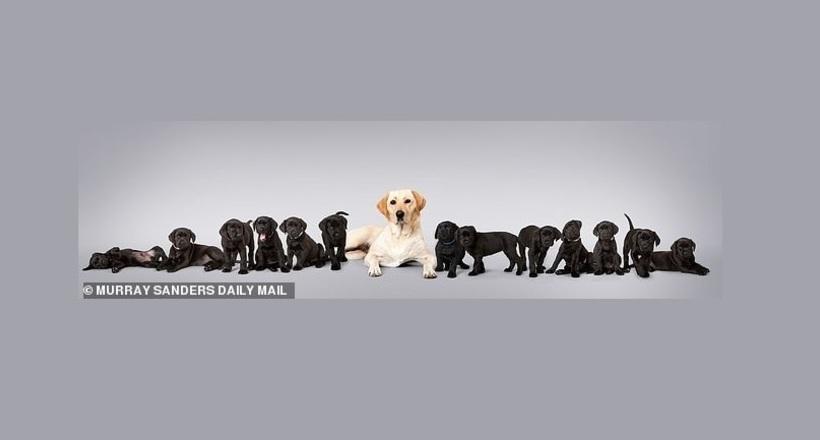 У белого лабрадора родилось 13 черных щенков — почти рекорд