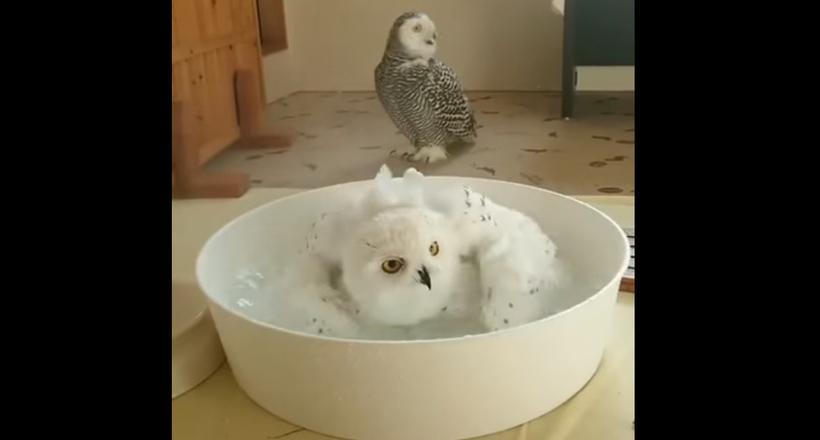 Видео: У белой совы банный день